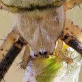 Wespenspinne (Argiope bruennichii) Ausschnitt aus einem Stack mit 34 Bildern
