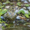 Grünfink (Carduelis chloris) an Wasserstelle, Jugendkleid