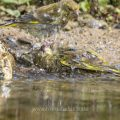 Grünfink (Carduelis chloris) badet