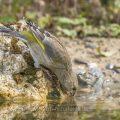 Grünfink (Carduelis chloris) an Wasserstelle