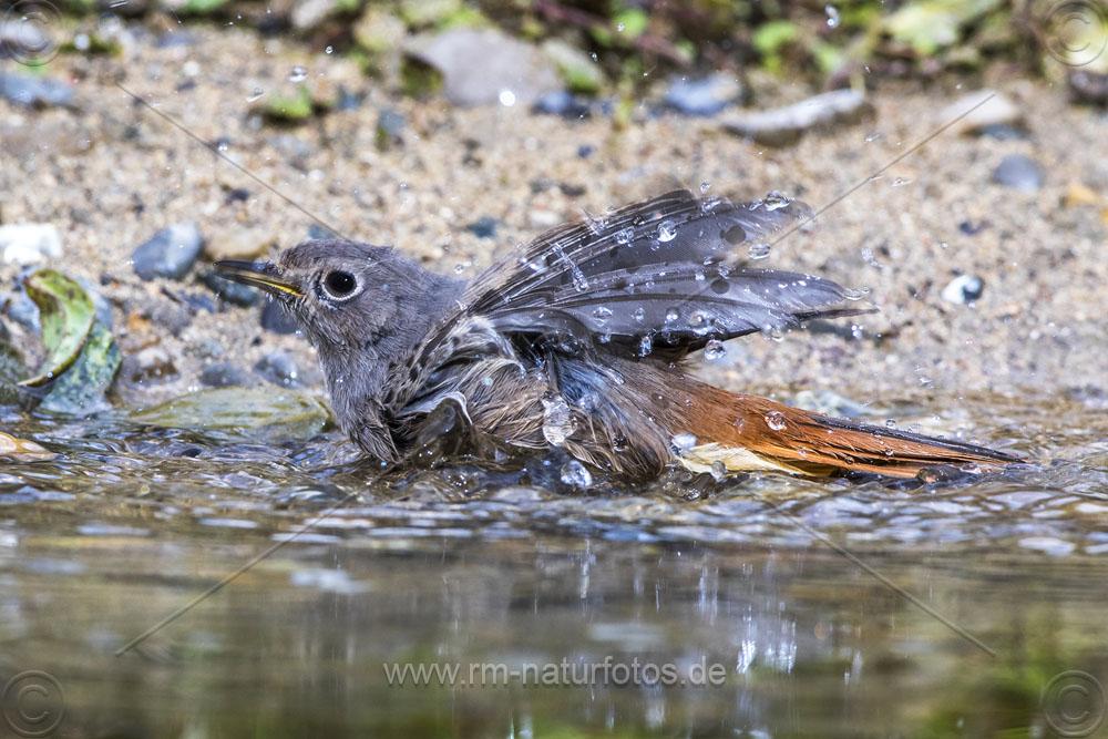 Hausrotschwanz (Phoenicurus ochruros) Weibchen badet
