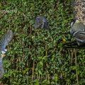 Blaumeise (Cyanistes caeruleus)  beim Landeanflug