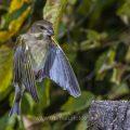 Grünfink (Carduelis chloris) bei der Landung