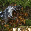 Tannenhäher (Nucifraga caryocatactes)