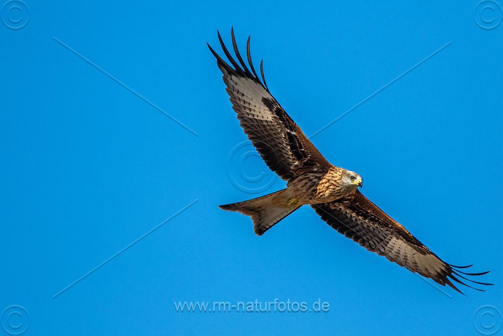 """Rotmilan (Milvus milvus) kein Platz um nach rechts ins Bild zu """"fliegen"""""""