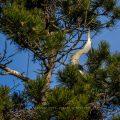 Graureiher (Ardea cinerea) balzt am Nest