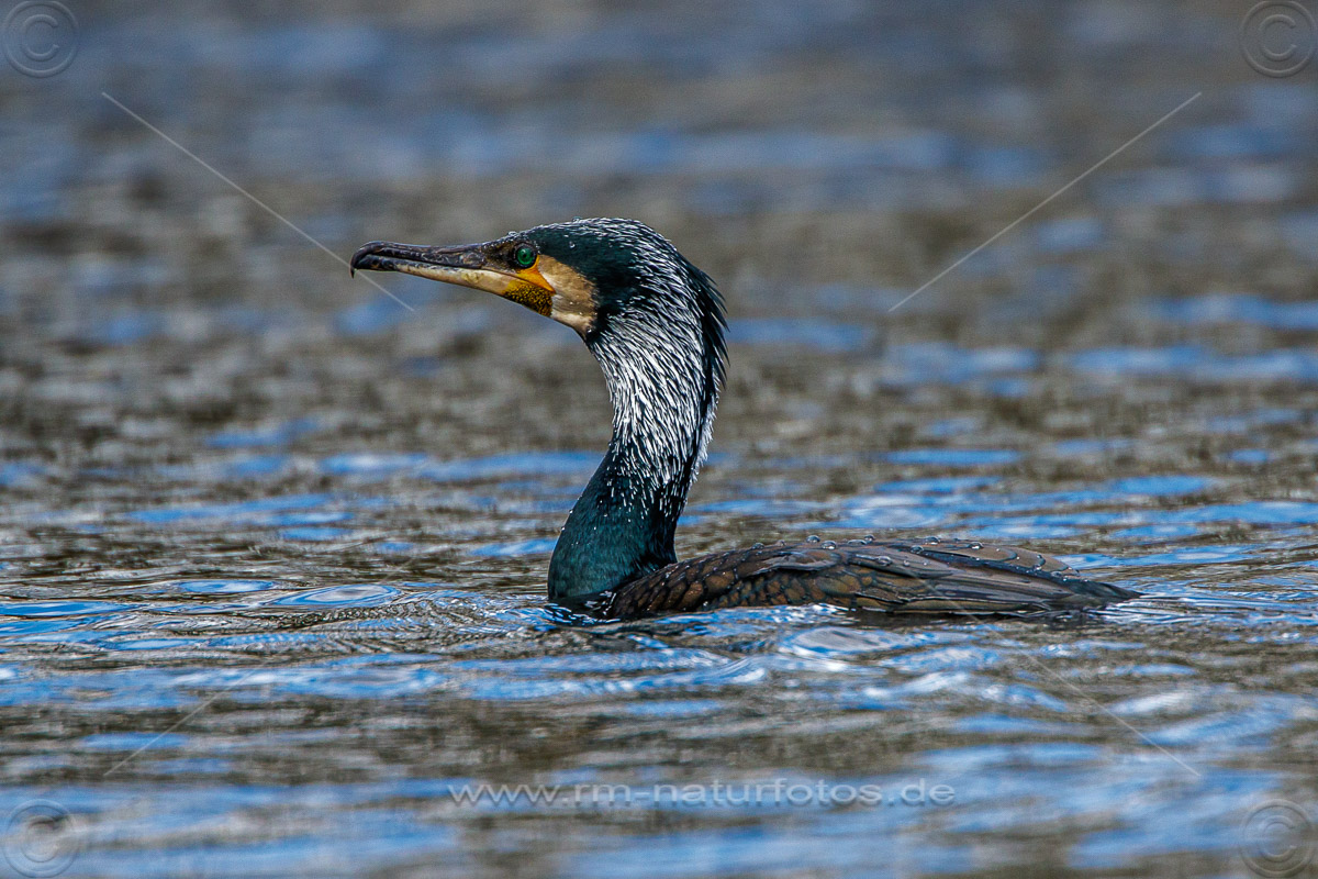 Kormoran (Phalacrocorax carbo
