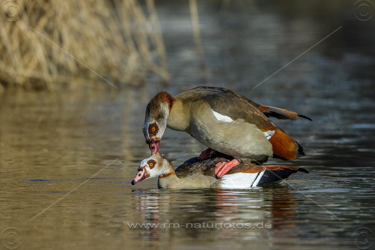 Nilgänse (Alopochen aegyptiacus) bei der Paarung