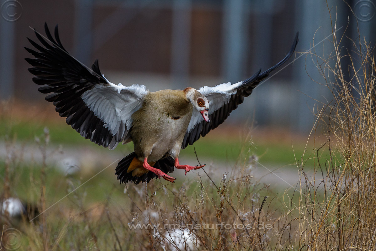 Nilgans (Alopochen aegyptiacus) bei der Landung