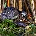 Zwergtaucher (Tachybaptus ruficollis) Jungvogel auf dem Nest der Altvögel wendet das Ei