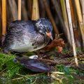Zwergtaucher (Tachybaptus ruficollis) Jungvogel setzt sich auf das Ei und brütet