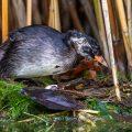 Zwergtaucher (Tachybaptus ruficollis) Jungvogel auf dem Nest der Altvögel