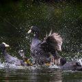 Bläßhühner (Fulica atra) streiten sich