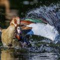 Nilgans (Alopochen aegyptiacus) geht auf Zwergtaucher los