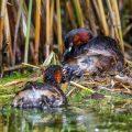 Zwergtaucher (Tachybaptus ruficollis) füttert Junges