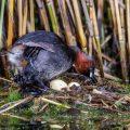 Zwergtaucher (Tachybaptus ruficollis) auf dem Nest mit Jungen