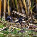 Zwergtaucher (Tachybaptus ruficollis) Junge am Nest