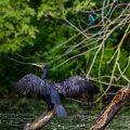 Kormoran (Phalacrocorax carbo) Kormoran (Phalacrocorax carbo) trocknet das Gefieder, Eisvogel im Hintergrund