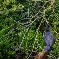 Eisvogel und Kormoran (Phalacrocorax carbo)