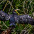 Kormoran (Phalacrocorax carbo) trocknet das Gefieder