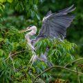 Graureiher (Ardea cinerea), er landet fast immer punktgenau und ich konnte dies an verschiedenen Tagen dokumentieren