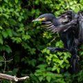 Kormoran (Phalacrocorax carbo) bei der Landung