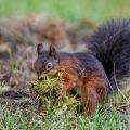 Eichhörnchen (Sciurus vulgaris) mit Frucht der Baum-Hasel
