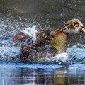 Nilgans (Alopochen aegyptiacus) badet