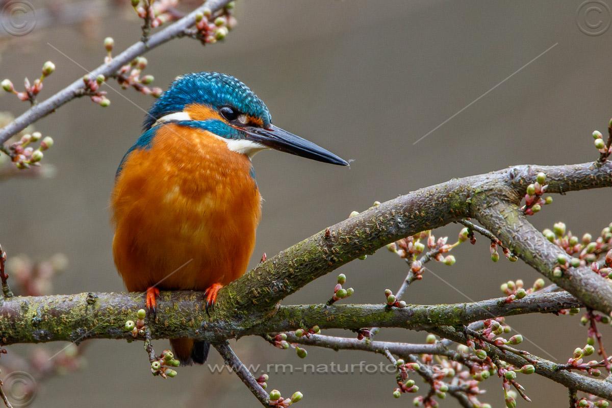 Eisvogel (Alcedo atthis) Männchen