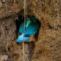 Eisvogel (Alcedo atthis) gräbt seine Höhle