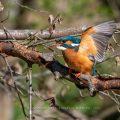 Eisvogel (Alcedo atthis) Weibchen