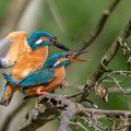 Eisvögel (Alcedo atthis) bei der Paarung
