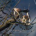 Turmfalken (Falco tinnunculus) Beuteübergabe