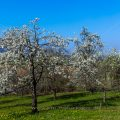 Blühende Streuobstwiesen an der Limburg, Weilheim an der Teck