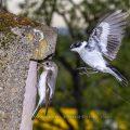 Beim Blitzen auf den zweiten Verschlussvorhang sind die Wischer hinter dem Vogel. Der Kopf ist scharf abgegrenzt