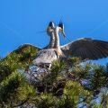 Graureiher (Ardea cinerea) am Nest mit Nistmaterial