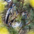 Graureiher (Ardea cinerea) halbwüchsige Jungvögel