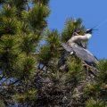 Graureiher (Ardea cinerea) Jungvögel werden gefüttert