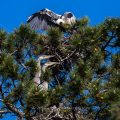 Graureiher (Ardea cinerea) Jungvögel