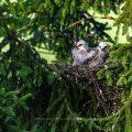 Mäusebussard (Buteo buteo), Jungvögel im Nest