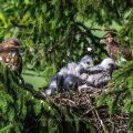 Mäusebussard (Buteo buteo), beide Altvögel am Horst mit den Jungen