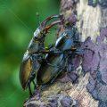 Hirschkäfer (Lucanus cervus) Paarung