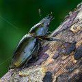 Hirschkäfer (Lucanus cervus) Weibchen