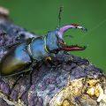 Hirschkäfer (Lucanus cervus) Männchen, Stack mit 23 Bildern, Photoshop