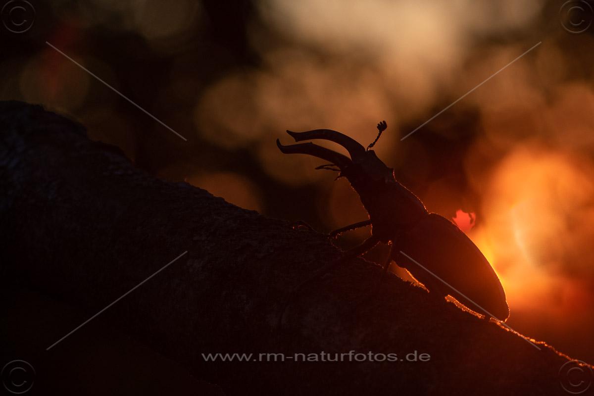 Hirschkäfer (Lucanus cervus) Männchen bei Sonnenuntergang