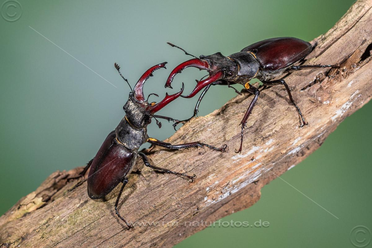 Hirschkäfer (Lucanus cervus) Männchen, Drohgebärden
