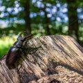 Hirschkäfer (Lucanus cervus) Männchen im Lebensraum