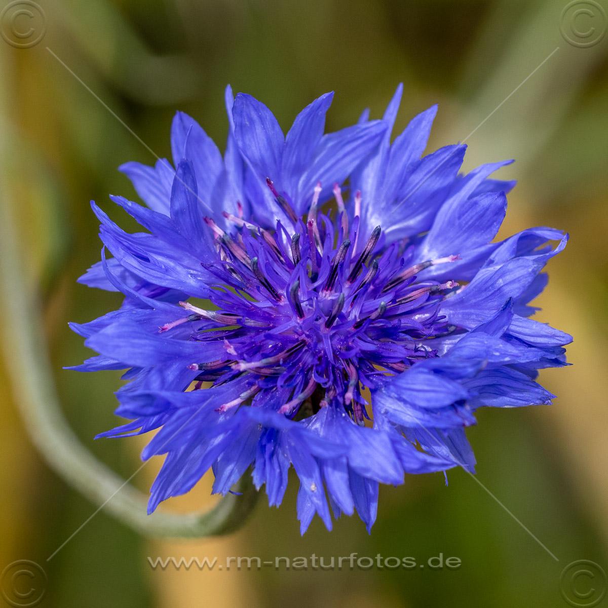 Kornnblume (Centaurea cyanus)