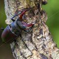 Hirschkäfer (Lucanus cervus) Männchen