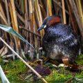 Zwergtaucher (Tachybaptus ruficollis) auf dem Nest